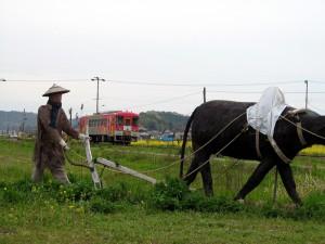 北条鉄道フラワ2000-1号と菜の花そして牛