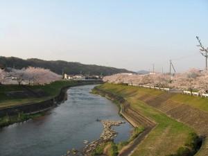 東条川の桜