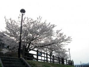 山南仁王駅の桜
