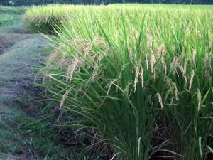 稲の穂も垂れてきた