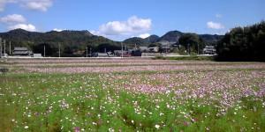 加西市郊外のコスモス畑