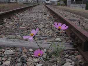 線路敷きのコスモス