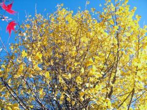 落葉進んだイチョウの木