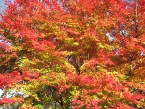 見事な紅葉のモミジ