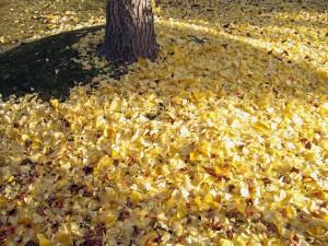 イチョウ絨毯