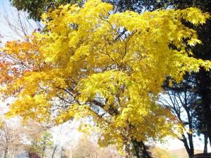 黄色く色づくモミジ