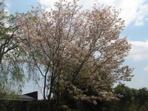 三木加佐遅咲きの桜