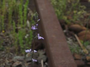 石野駅跡の野花