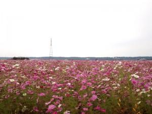 加東市沢部のコスモス畑