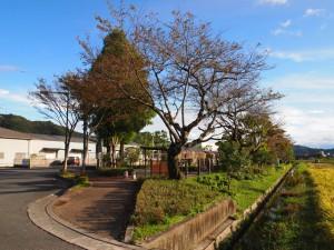 鍛冶屋駅現役当時からの桜の木か