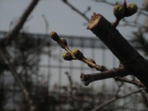 湊川公園の桜120320s