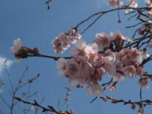 西脇日野一本桜の花