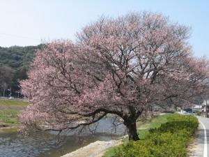 春日橋の桜2011年4月1日