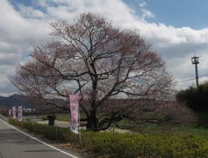 西脇市日野地蔵一本桜