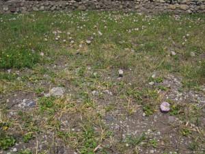 御坊の海岸に咲くハマヒルガオ