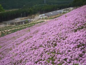 ラベンダーパーク多可にてタイムの花