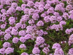 タイムの花で蜜を集めるミツバチ