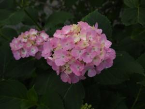 都麻乃里あじさい園のあじさい赤花