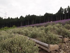 ストエカス系ラベンダーの白花と紫
