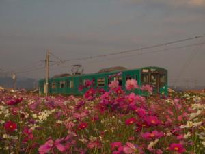 加古川線103系とコスモス