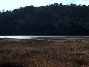 加西市長倉池コハクチョウ2013年1月