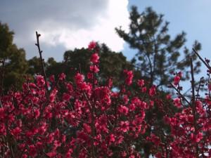 曽根天満宮早咲き梅