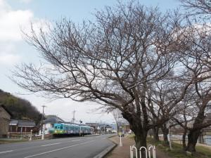 市原桜130323(5)