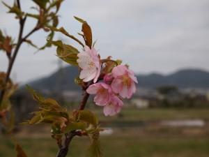 西脇河津桜