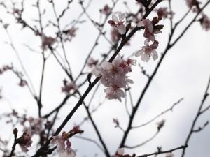 地蔵一本桜