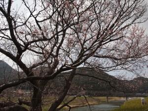 地蔵一本桜130323(26)