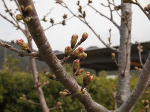 加古川堤防桜
