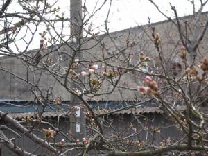 第一前桜130323