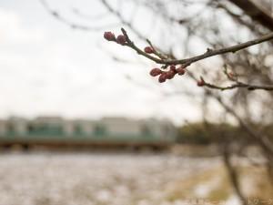 まだ咲かない梅と加古川125系