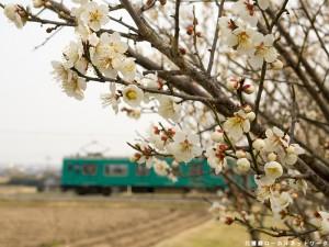 加古川線と見頃の梅