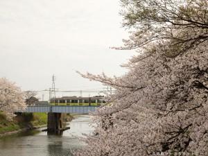 満開の桜とエコムーブトレイン