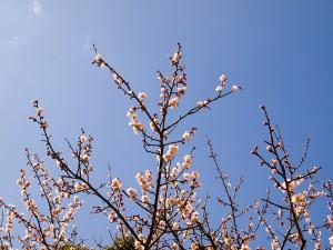 明石公園の梅