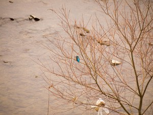 加古川に棲むカワセミ