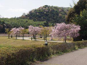 玉丘公園の桜の木々