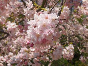 玉丘公園の桜アップ