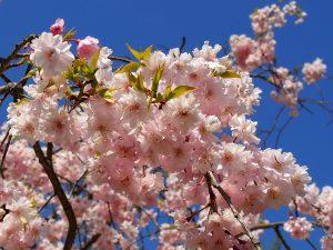 玉丘公園の桜