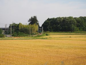 麦畑と加古川線103系
