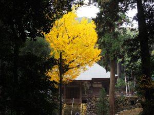 西仙寺本堂と大イチョウ