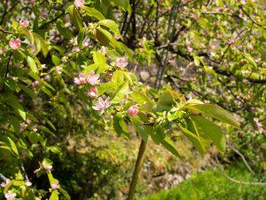 岩座神集落のカリンの花