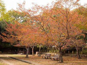 明石城本丸の桜の紅葉