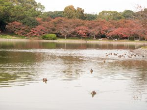 濠の池のカモ