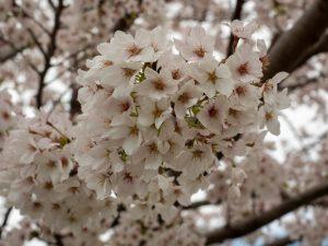 2020年野村町桜