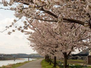 2020年野村町加古川堤防桜