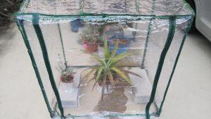 パイナップルビニル温室へ